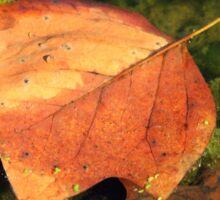 Fallen Maple Leaf in Pond Sticker
