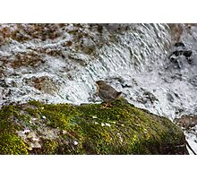 New Beginnings...A Dippers Tale Photographic Print