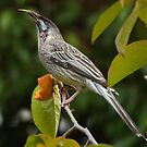 Wattle Bird by Bevellee