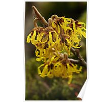 Witch hazel Poster