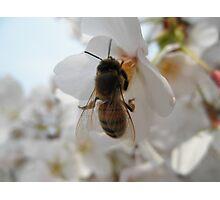 Bee  Photographic Print