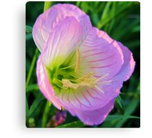 Pretty in Pink - Evening Primrose, Pink Lady - Texas Wildflower Canvas Print