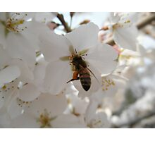 Honeybee Photographic Print