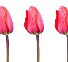 Three Red Tulips in a Row by Natalie Kinnear