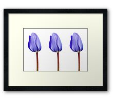Three Purple Tulips in a Row Framed Print