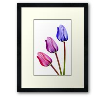 Three Tulips Pink Lilac Purple Framed Print