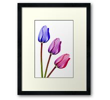 Trio of Tulips Purple Lilac Pink Framed Print