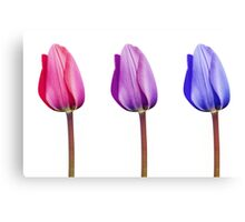 Pink Lilac Purple Tulips in a Row Canvas Print