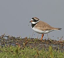 Ringed Plover In Breeding Plumage by Robert Abraham