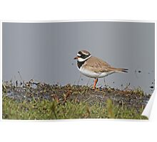 Ringed Plover In Breeding Plumage Poster