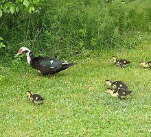 Ducklings by ack1128
