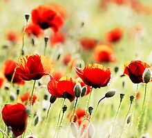 poppy field by JanaBehr