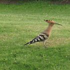 A Happy Hoopoe going about his business. by Sue Gurney