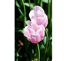 Pair of Pink Tulips Photographic Print