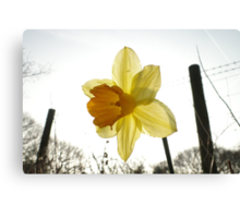 Narcissus in the Sun Canvas Print