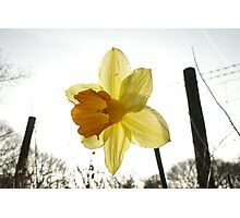 Narcissus in the Sun Photographic Print