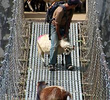 Goats on Suspension Bridge Tikhedhunga  by SerenaB