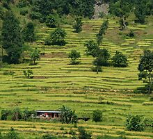 House Amongst Rice Fields near Birethanti by SerenaB