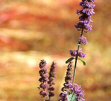 Lavendar Against Buckwheat by SerenaB