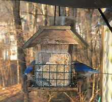 Blue Birds on Feeder by ack1128