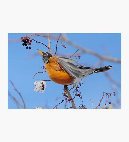 Winter Robin Photographic Print