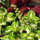 Tiny Blue Coleus Flowers by kathrynsgallery