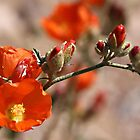 Desert Globemallow by Vickie Emms