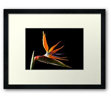 Strelitzia Framed Print