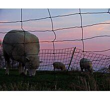 Sheep Grazing at Sunset Photographic Print