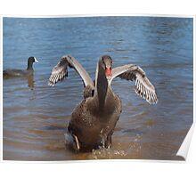 Black Swan Cygnet. Poster