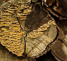 Turkey Tail - pretty bracket fungi by steppeland