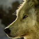 Portrait Of A Wolf by Sue  Thomson
