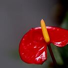 red flamingo lily by lensbaby