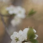 Hawthorn blossom by Matthew Folley
