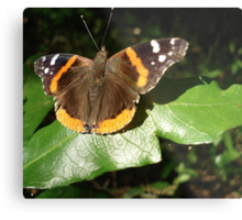 RED ADMIRAL BASKING IN THE EVENING SUN Metal Print