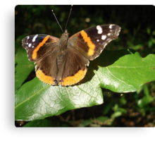 RED ADMIRAL BASKING IN THE EVENING SUN Canvas Print