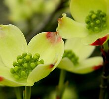 Yellow Virginia Dogwood  ^ by ctheworld