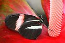 Red Postman on Anthurium - Heliconius erato by Lepidoptera