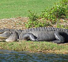 Alligator Posing For Me :) by Cynthia48