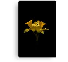 Elegant Daffodils Canvas Print