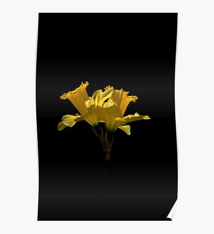 Elegant Daffodils Poster