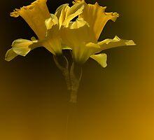 Spring Daffodils by helencwynn