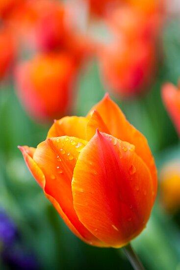 Tulips in the garden by Jeff  Wilson