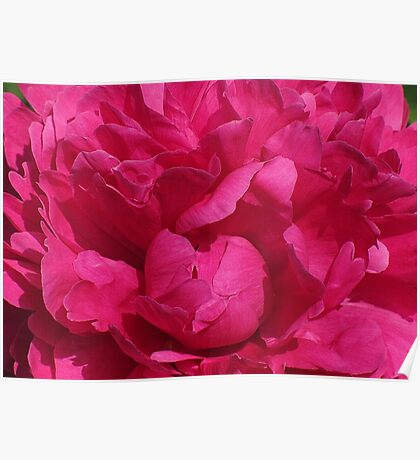 Pink Ruffles! Poster