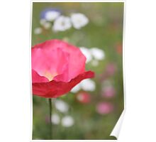 Pink Poppy Close Up Poster