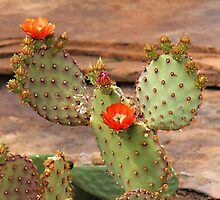 Prickly Pear Cactus by Vickie Emms