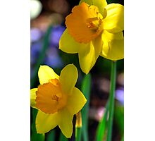 Daffodils in Denver Photographic Print