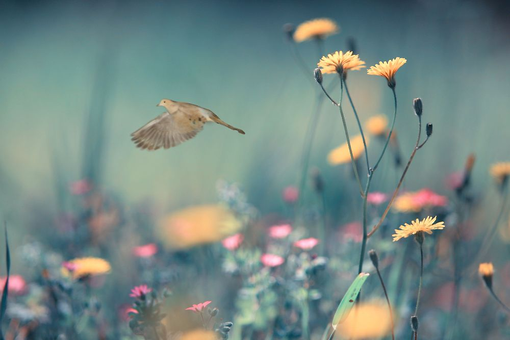 When a Dove Flys by NewfieKeith