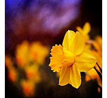 Daffodils at Dusk Photographic Print