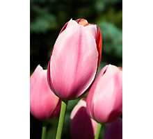 Pink Tulips with Whtie and Salmon Accents Photographic Print